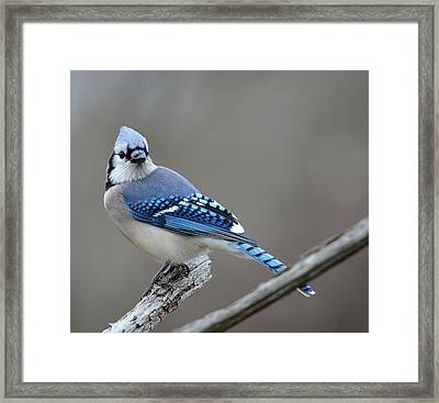 Blue Jay 2 Framed Print by Todd Hostetter