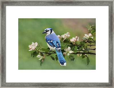 Blue Jay And Blossoms Framed Print