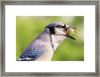 Blue Jay And Peanuts Framed Print by Jim Hughes
