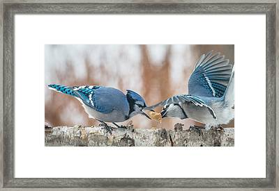 Blue Jay Battle Framed Print by Patti Deters