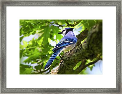 Blue Jay Framed Print by Christina Rollo