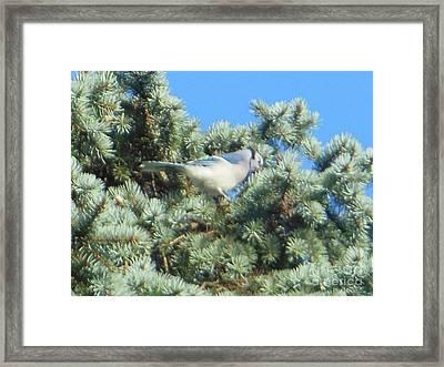 Blue Jay Colorado Spruce Framed Print