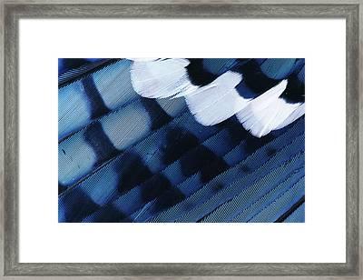 Blue Jay Cyanocitta Cristata Feathers Framed Print by Rolf Nussbaumer