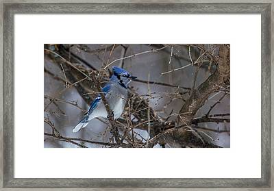 Framed Print featuring the photograph Blue Jay by Dan Traun