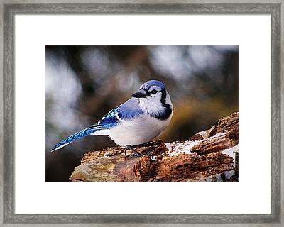 Blue Jay Day Framed Print