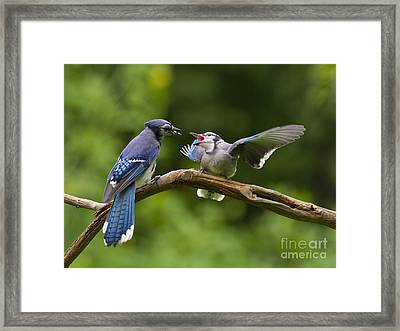 Blue Jay Fledgling Begs For Food Framed Print by Marie Read