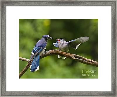 Blue Jay Fledgling Begs For Food Framed Print