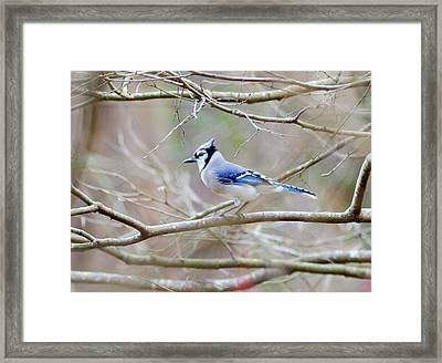 Framed Print featuring the photograph Blue Jay by George Randy Bass