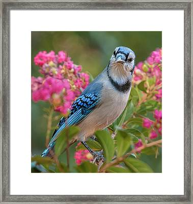 Blue Jay In Crepe Myrtle Framed Print by Jim Moore