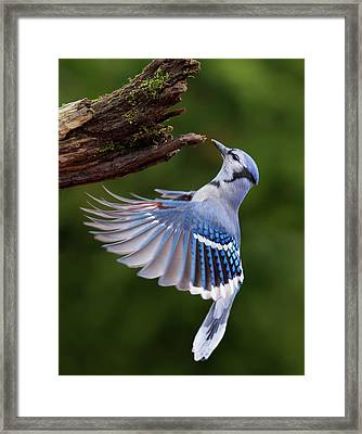 Framed Print featuring the photograph Blue Jay In Flight by Mircea Costina Photography