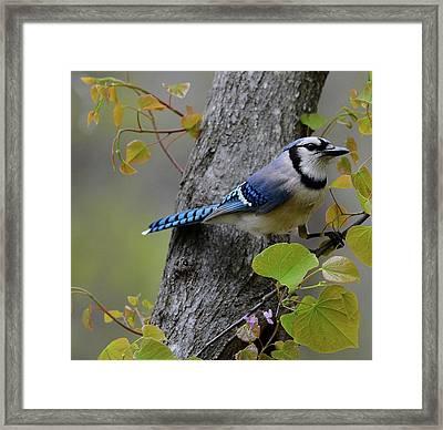 Blue Jay In Red Bud Framed Print