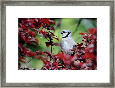 Blue Jay In The Plum Tree Framed Print