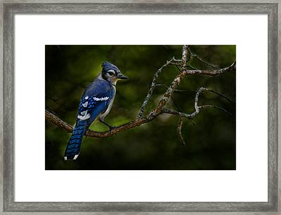 Framed Print featuring the photograph Blue Jay In Tree by Michael Cummings
