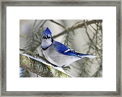 Blue Jay In Winter Framed Print by Rodney Campbell