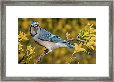 Blue Jay In Yellow Spring Framed Print