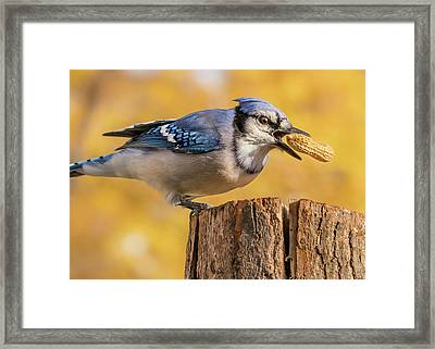 Blue Jay Juggling A Peanut Framed Print by Jim Hughes