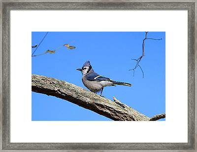 Blue Jay Framed Print by Linda Crockett