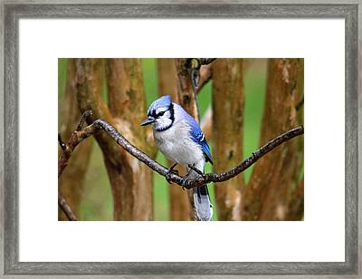 Blue Jay On A Branch Framed Print