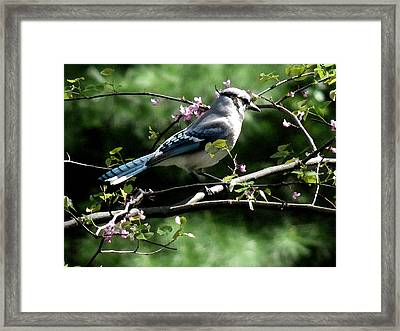 Blue Jay On Red Bud Tree Framed Print by David Bearden