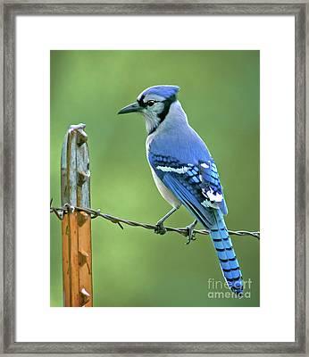 Blue Jay On The Fence Framed Print