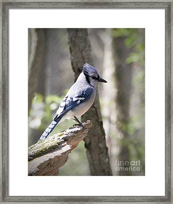Blue Jay Perch Framed Print by Anita Oakley