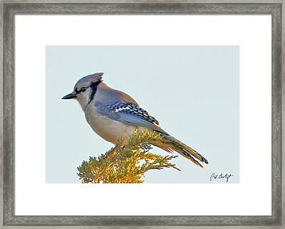Blue Jay Framed Print