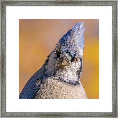 Blue Jay Portrait Framed Print by Jim Hughes