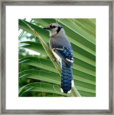 Blue Jay Protector Framed Print by Kicking Bear  Productions
