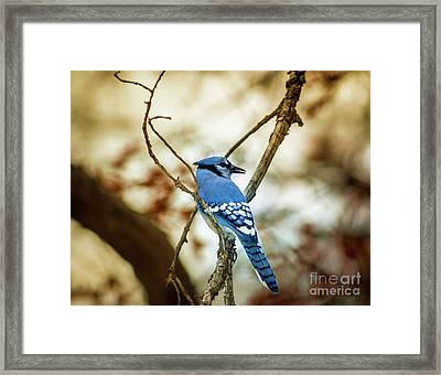Blue Jay Framed Print by Robert Frederick