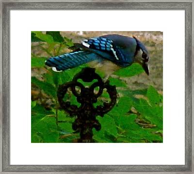 Blue Jay Spindel Framed Print by Debra     Vatalaro