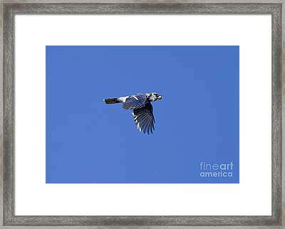 Blue Jay With Acorn Framed Print by Marie Read
