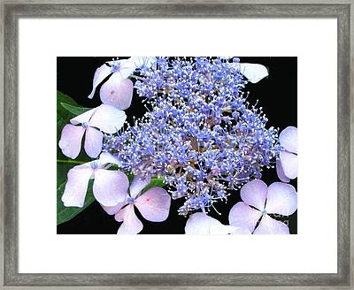 Blue Lace-cap Hydrangea Framed Print by Linda Vespasian