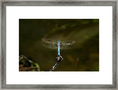 Blue Libellulid With Very Green Eyes Framed Print by Douglas Barnett