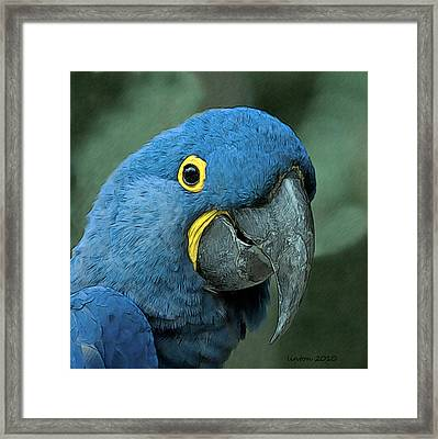 Blue Macaw 2 Framed Print by Larry Linton