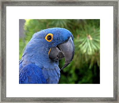 Blue Macaw Parrot Framed Print