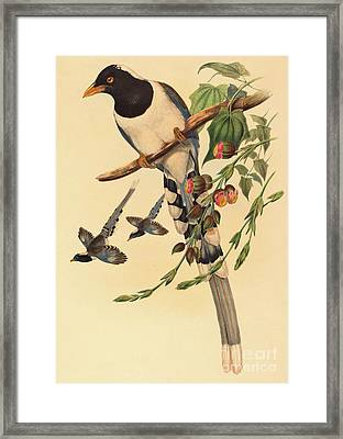 Blue Magpie, Urocissa Magnirostris Framed Print