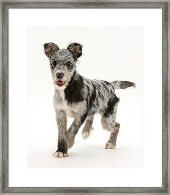 Blue Merle Mutt Framed Print by Mark Taylor