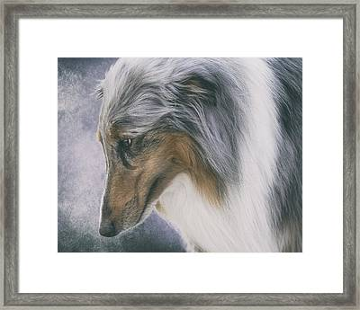 Blue Merle Rough Collie Framed Print by Wolf Shadow  Photography