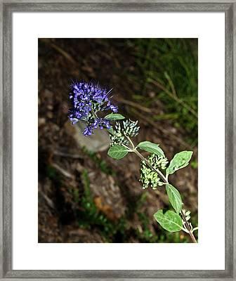 Blue Mist Spirea Framed Print