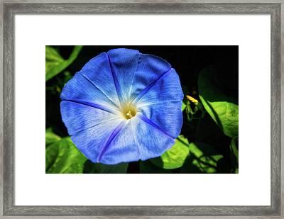 Blue Morning Glory - Retzer  Framed Print