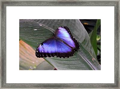Blue Morph Framed Print by David and Lynn Keller