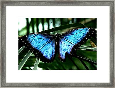 Blue Morph Framed Print by Diane Wallace