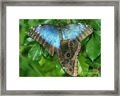 Blue Morpho Butterflies Framed Print by Sabrina L Ryan
