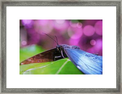 Blue Morpho  Butterfly 2 Framed Print