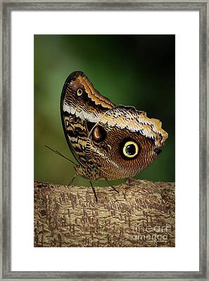 Blue Morpho Butterfly Cecil B Day Butterfly Center Art Framed Print