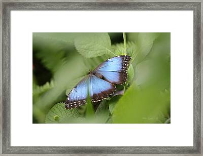 Blue Morpho Butterfly Framed Print by Mike Lytle