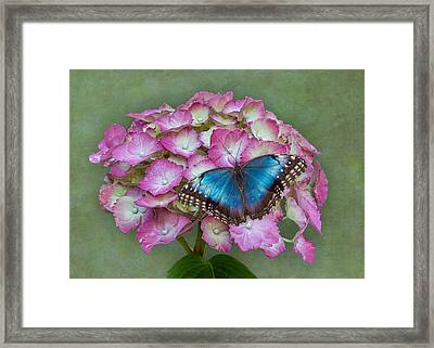 Blue Morpho Butterfly On Pink Hydrangea Framed Print