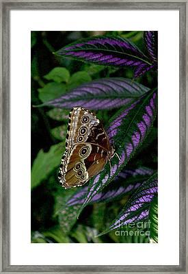 Blue Morpho Butterfly Framed Print by Skip Willits