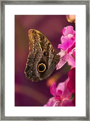 Blue Morpho Butterly On Pink Flowers Framed Print by Jaroslaw Blaminsky