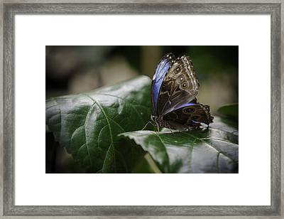 Blue Morpho On A Leaf Framed Print